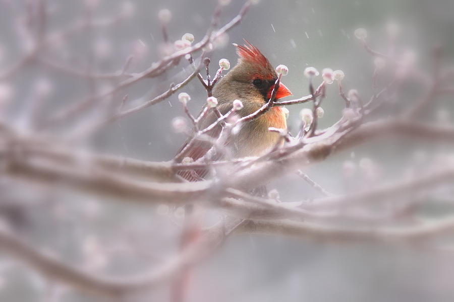 Cardinal - Bird - Lady In The Rain Photograph