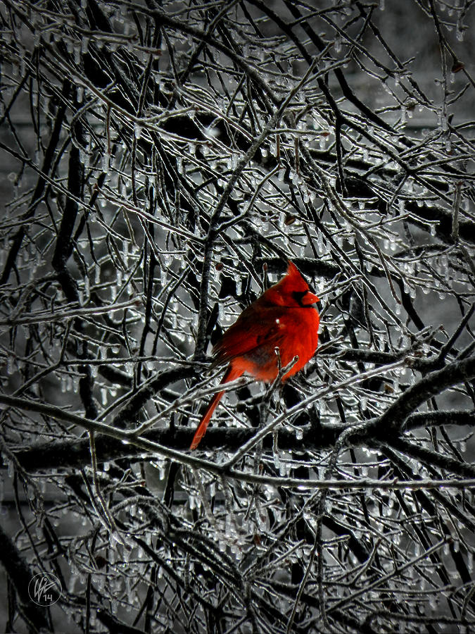 Cardinal In An Ice Storm 001