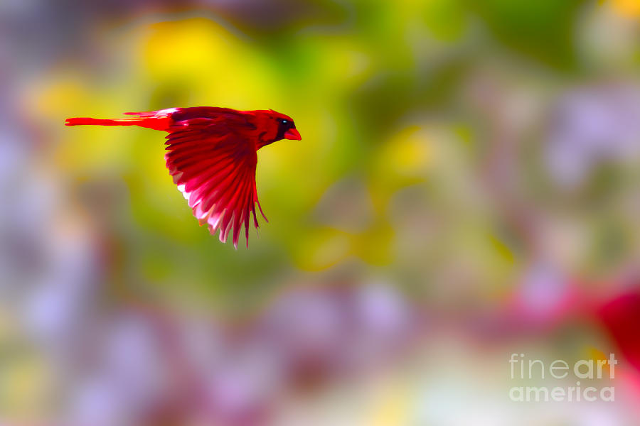 Bird Photograph - Cardinal In Flight by Dan Friend