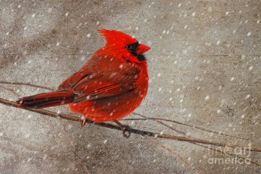 Cardinal In Snow Photograph  - Cardinal In Snow Fine Art Print