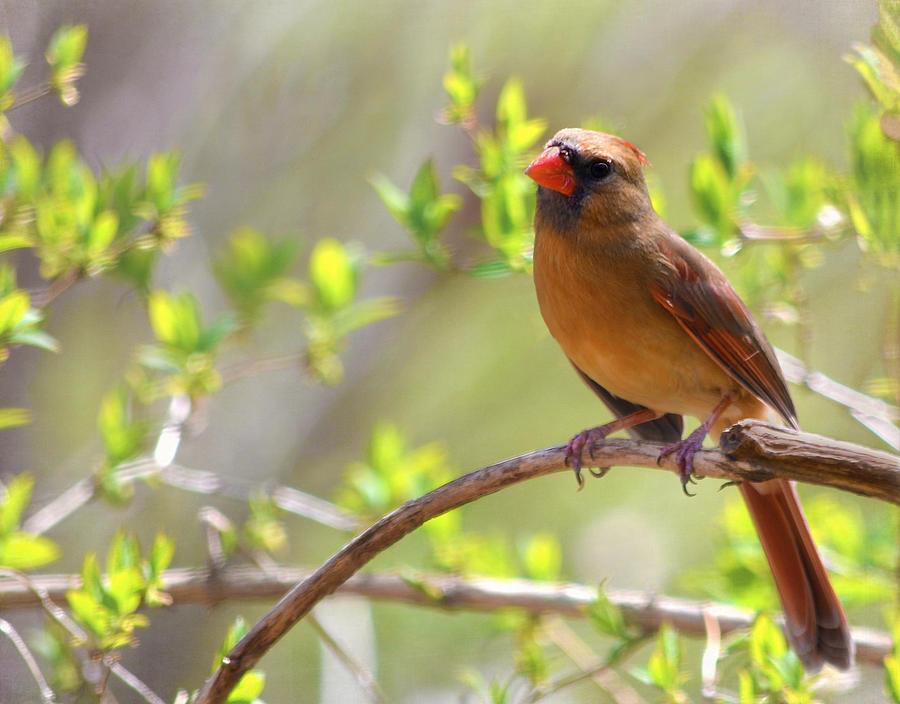 Cardinal Photograph - Cardinal In Spring by Sandi OReilly