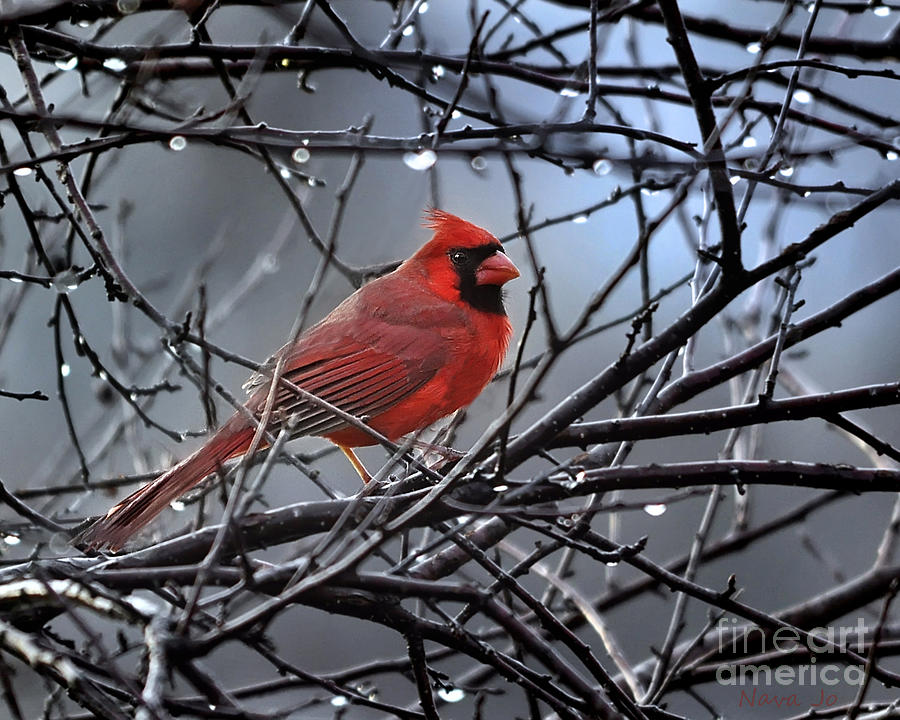 Cardinal In The Rain   Photograph
