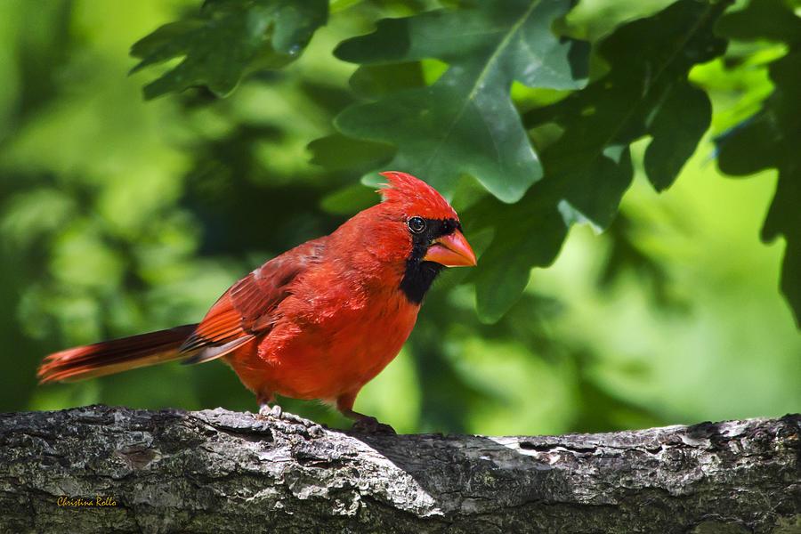 Cardinal Red Photograph