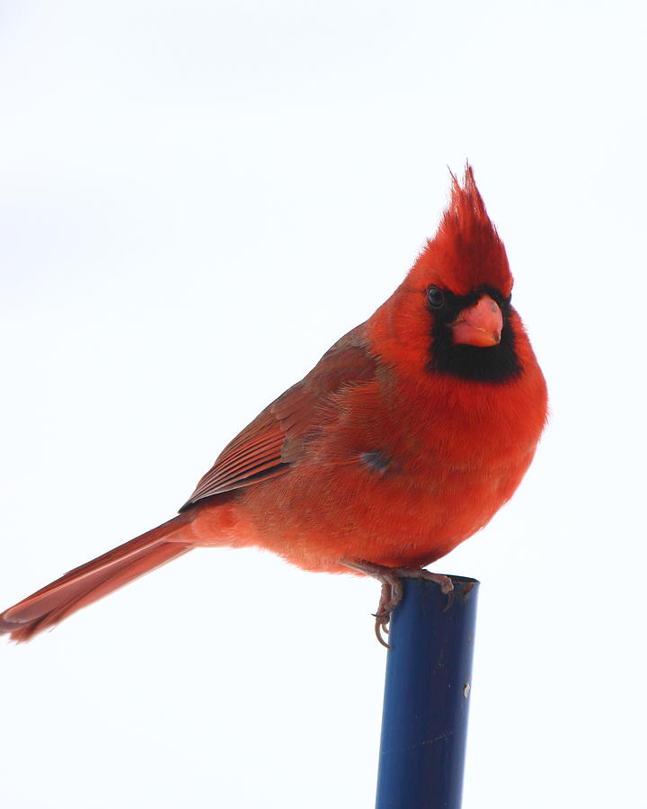 Cardinal White Background By Karen Beasley