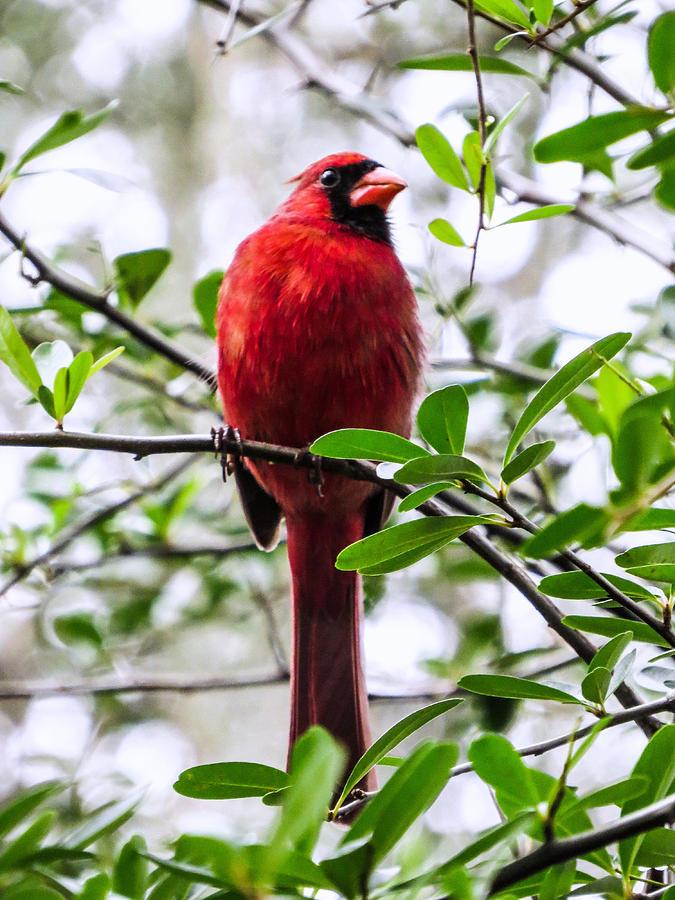 Cardinal Photograph