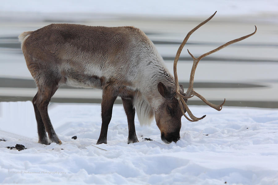 Caribou Tundra Photograph by Wahed Mohammed
