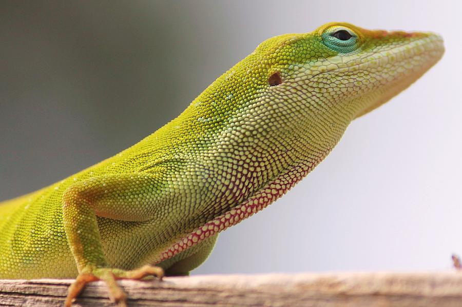 Carolina Anole Photograph  - Carolina Anole Fine Art Print