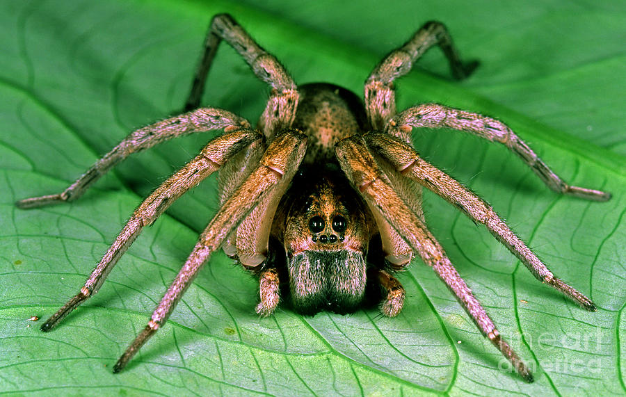 Carolina Wolf Spider Photograph