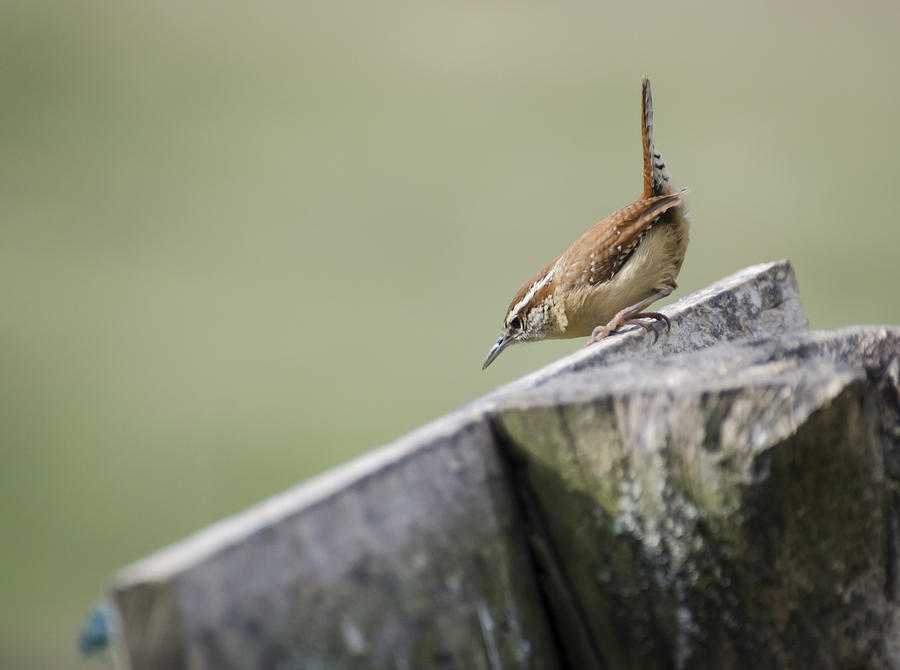 Carolina Wren Two Photograph  - Carolina Wren Two Fine Art Print