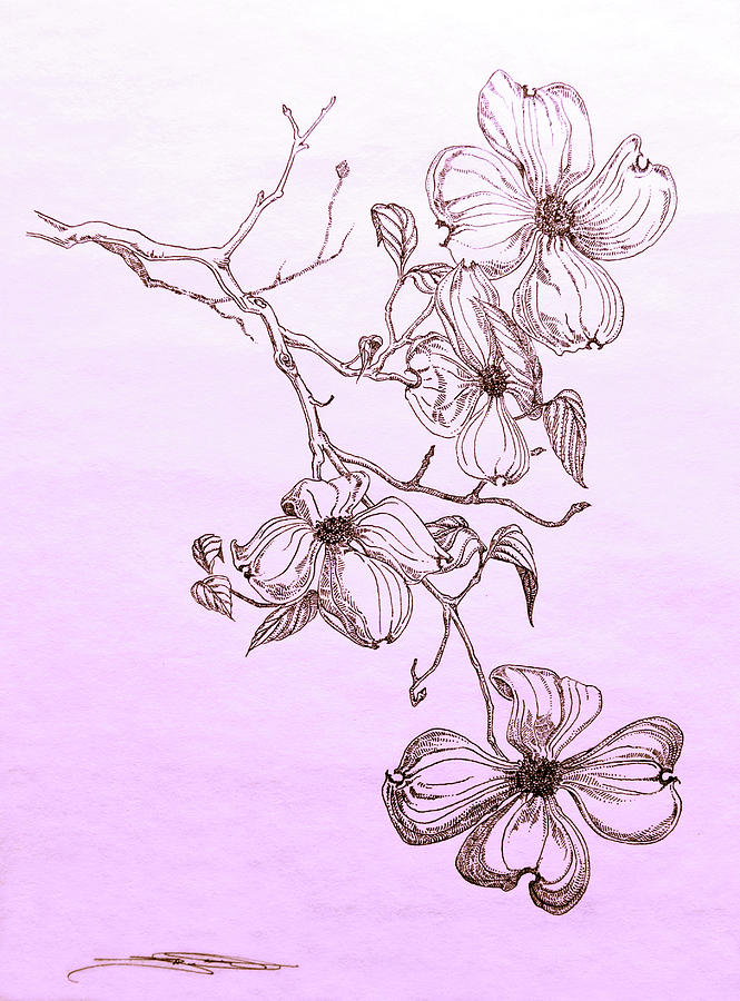 Flower Tree Line Drawing : Dogwood tree flower drawing pixshark images