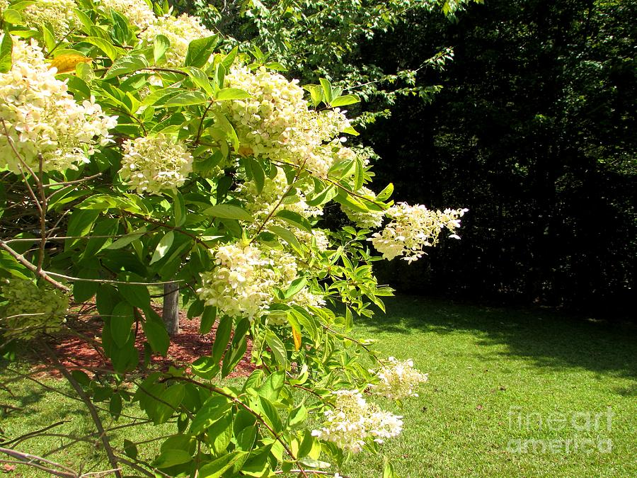 Cascading Flowering Hydrangea Photograph By Gardening