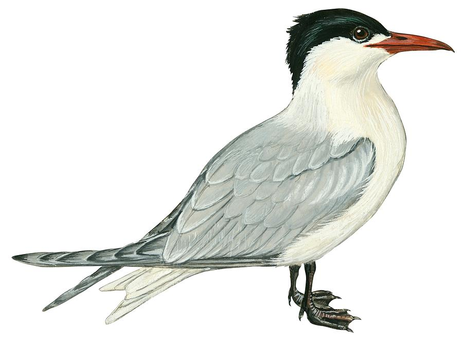 No People; Horizontal; Side View; Full Length; White Background; One Animal; Wildlife; Close Up; Illustration And Painting; Zoology; Bird; Wing; Feather; Beak; Grey; Black; Web; Tail; Caspian Tern; Sterna Caspia Drawing - Caspian Tern by Anonymous