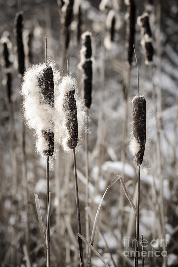 Cattails In Winter Photograph  - Cattails In Winter Fine Art Print