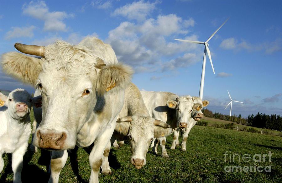 Air  Photograph - Cattle by Bernard Jaubert