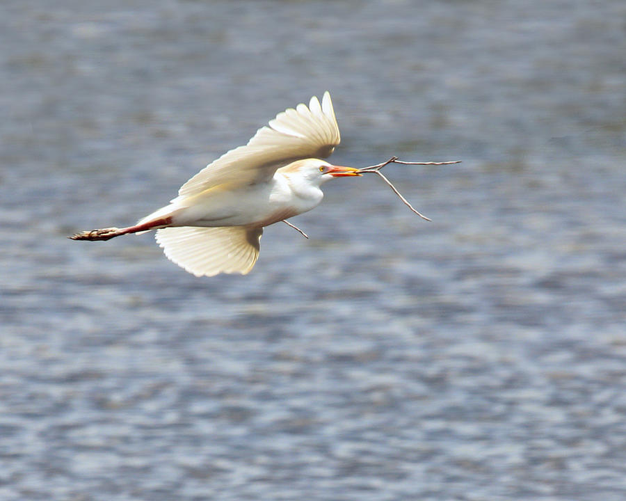 Cattle Egret In Flight Photograph