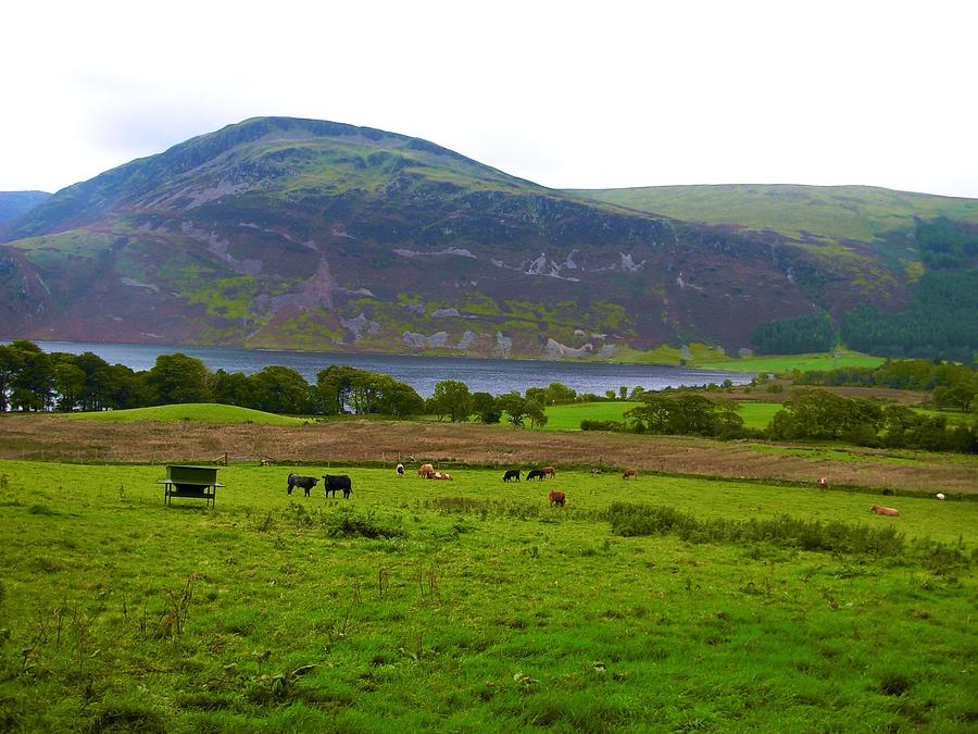 Cattle Grazing At Buttermere Photograph