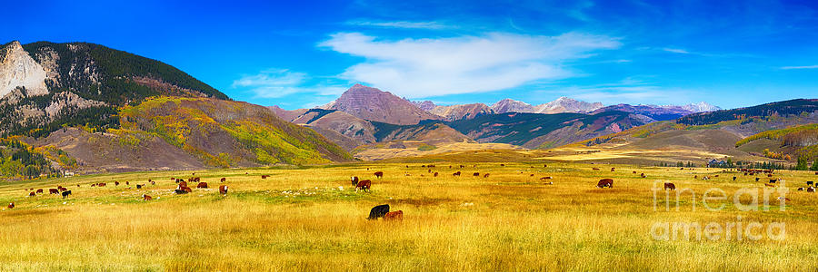 Cattle Grazing Autumn Panorama Photograph  - Cattle Grazing Autumn Panorama Fine Art Print