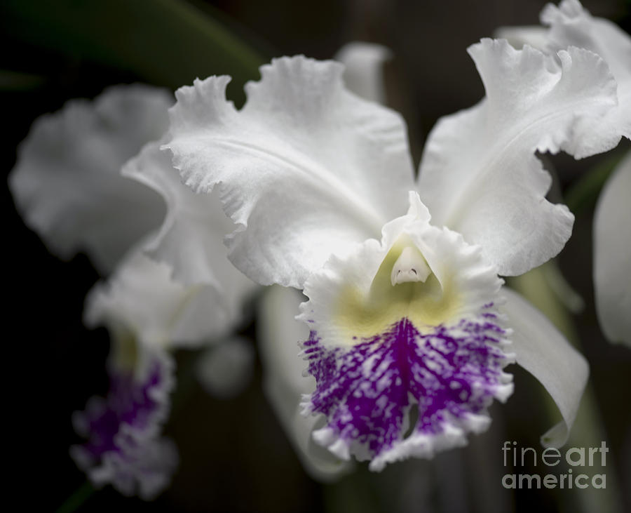 Cattleya Catherine Patterson Full Bloom Photograph  - Cattleya Catherine Patterson Full Bloom Fine Art Print