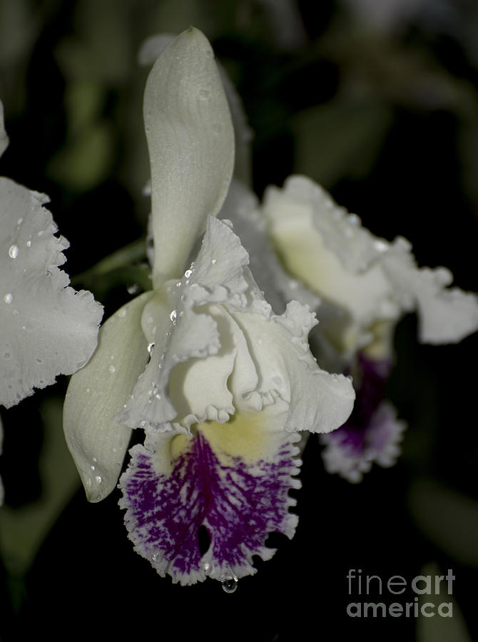 Cattleya Catherine Patterson With Rain Drops 2 Of 2 Photograph  - Cattleya Catherine Patterson With Rain Drops 2 Of 2 Fine Art Print
