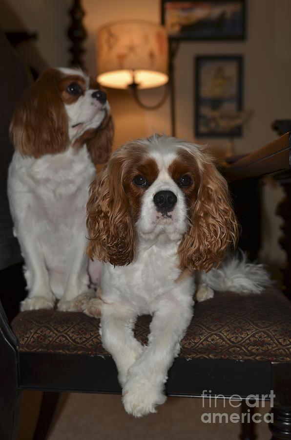 Cavalier Dogs Photograph