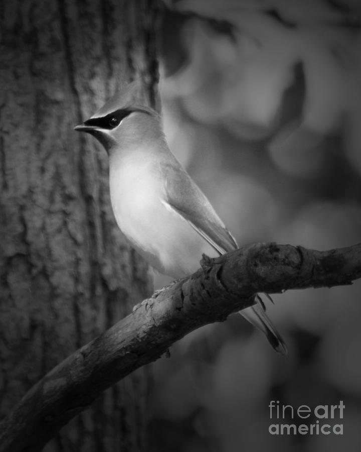 Cedar Waxwing In Monochrome Photograph