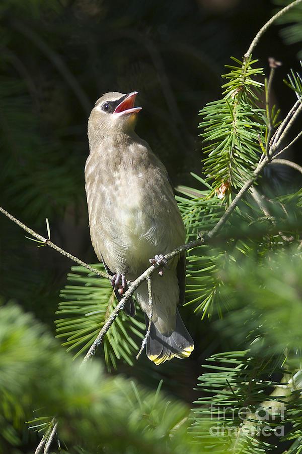 Cedar waxwing juvenile