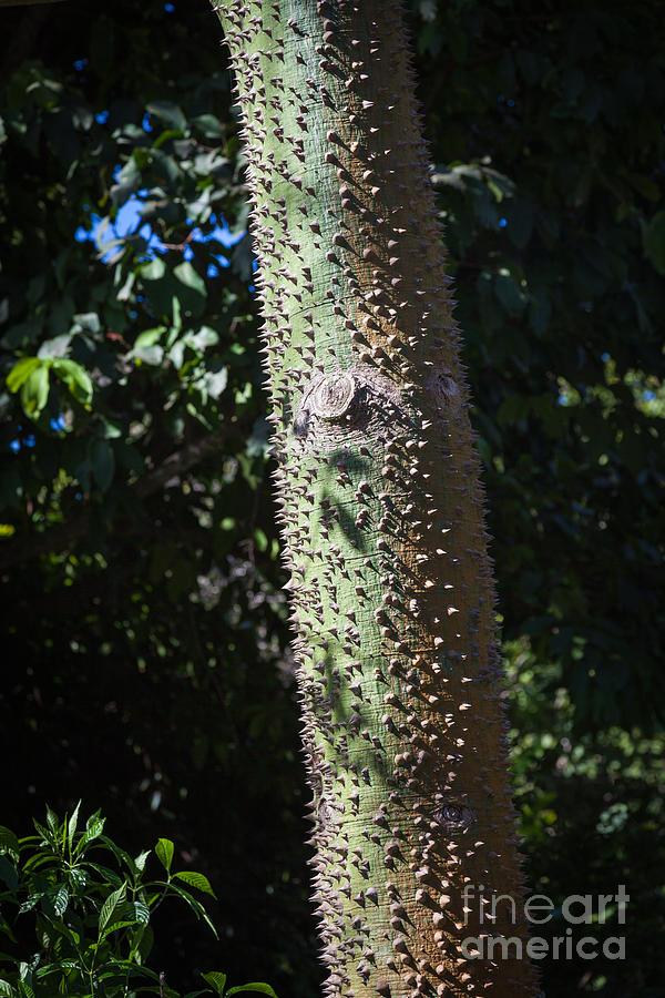 Ceiba Speciosa Photograph