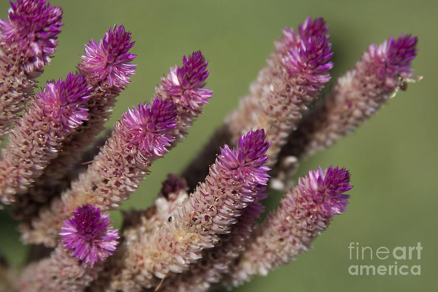 Celosia - Amaranthaceae Photograph