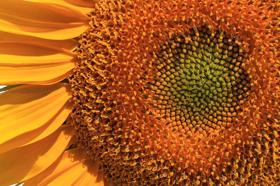 Sunflowers Photograph - Center Of Attention by Donna Kennedy