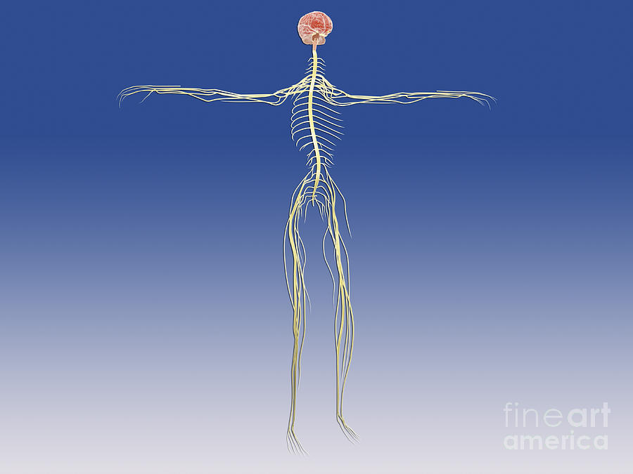Central Nervous System With Human Brain Digital Art  - Central Nervous System With Human Brain Fine Art Print