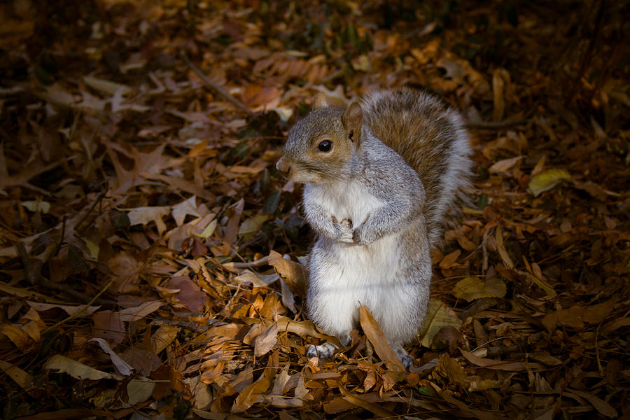 Central Park Squirrel Photograph  - Central Park Squirrel Fine Art Print