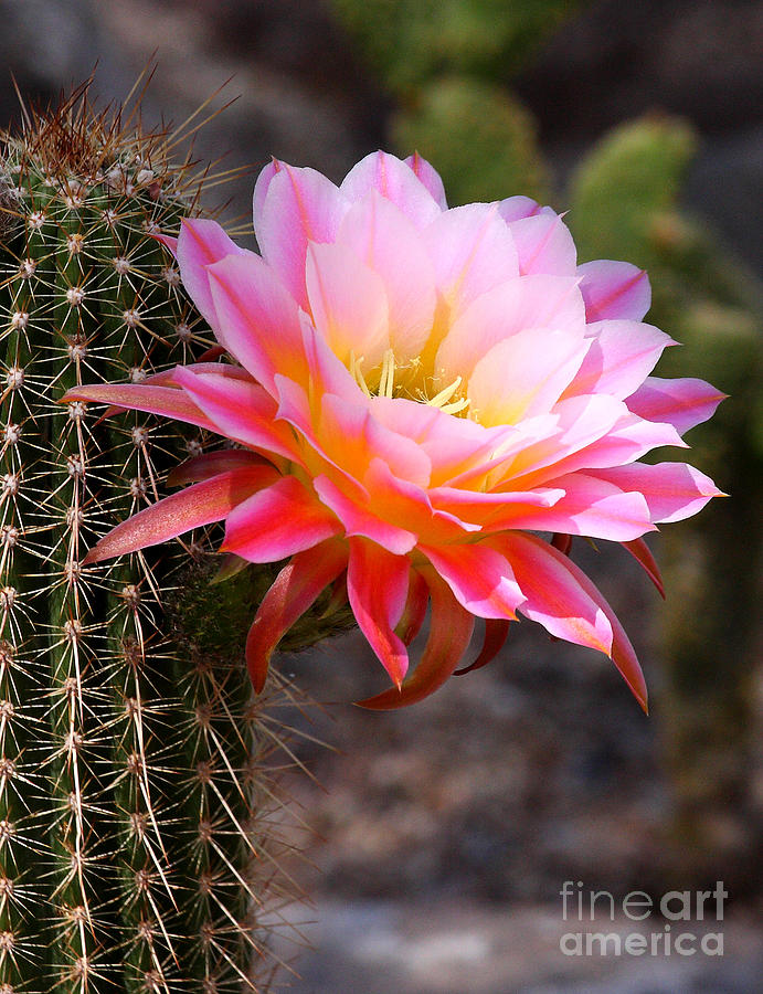 Cacti Photograph - Cereus In Pink by Ruth Jolly
