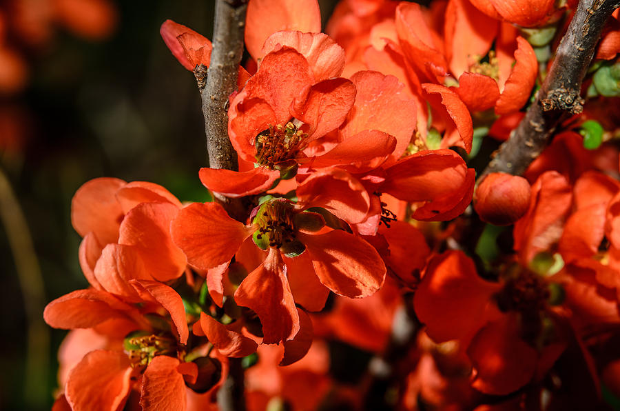 Spring Photograph - Chaenomeles by Michael Goyberg