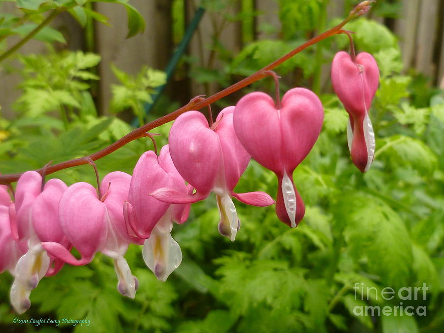 Flower Photography Photograph - Chains Of Heart by Lingfai Leung