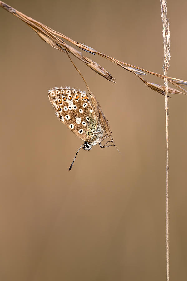 Chalkhill Blue Butterfly Photograph