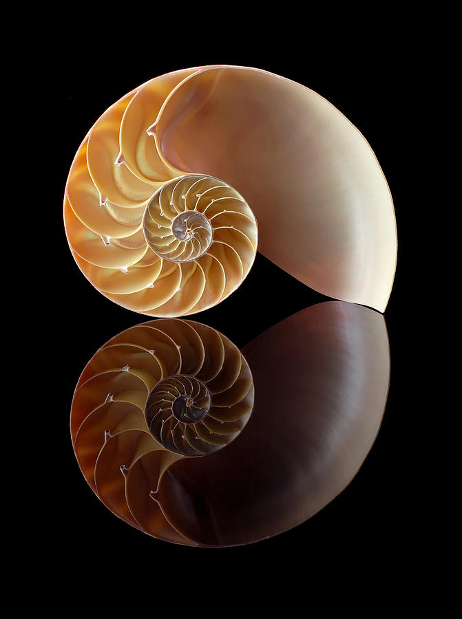 Chambered Nautilus Photograph