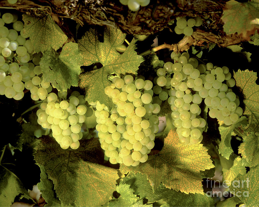 Cluster Photograph - Chardonnay Wine Clusters by Craig Lovell