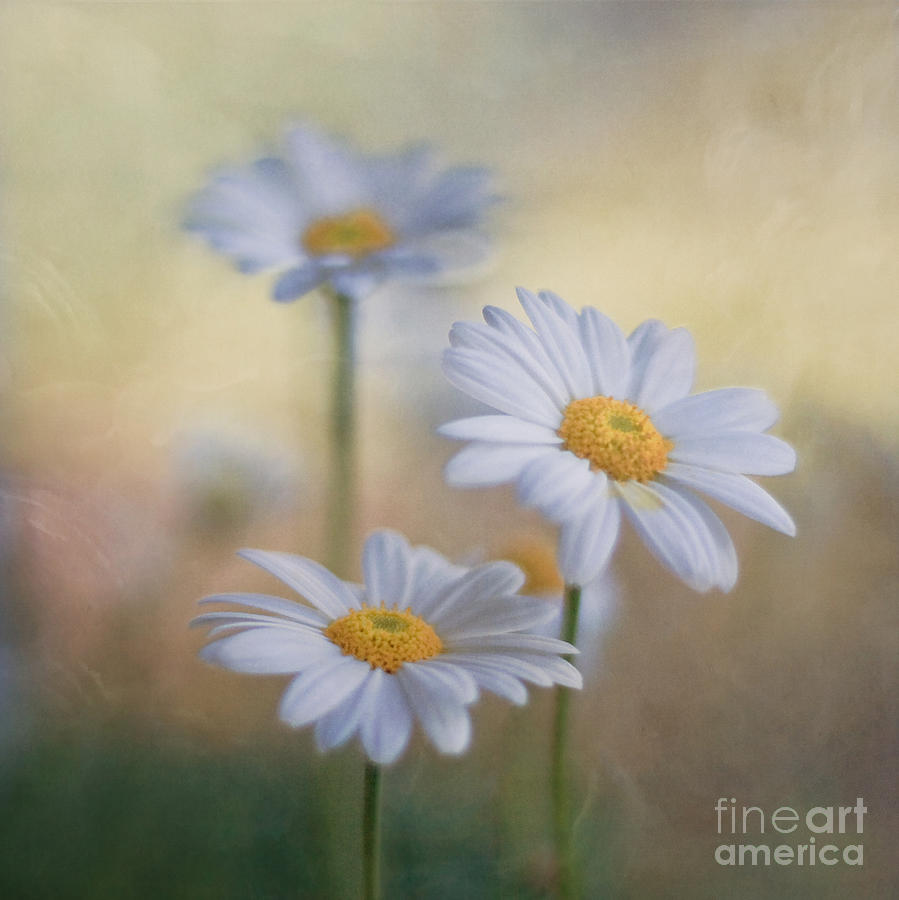 Flower Photograph - Charites by Maria Ismanah Schulze-Vorberg