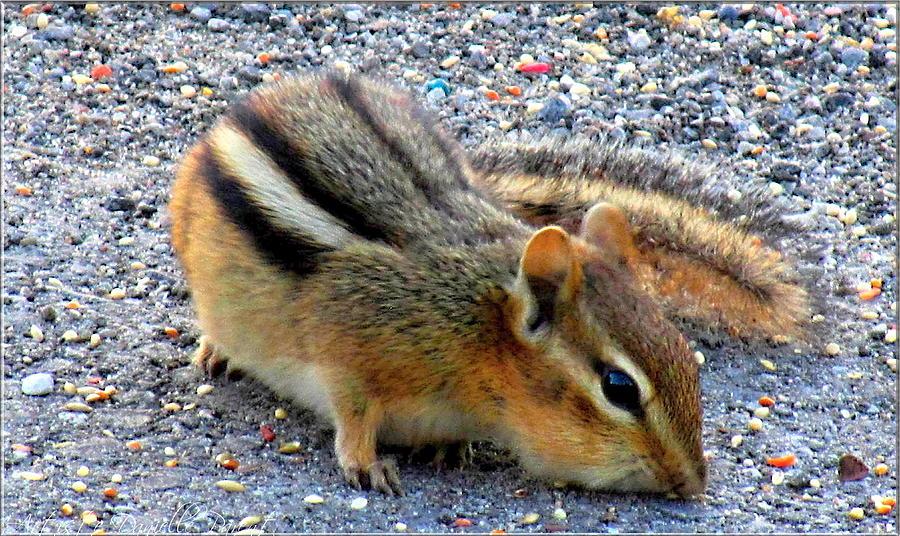 Cheeky Chipmunk Photograph