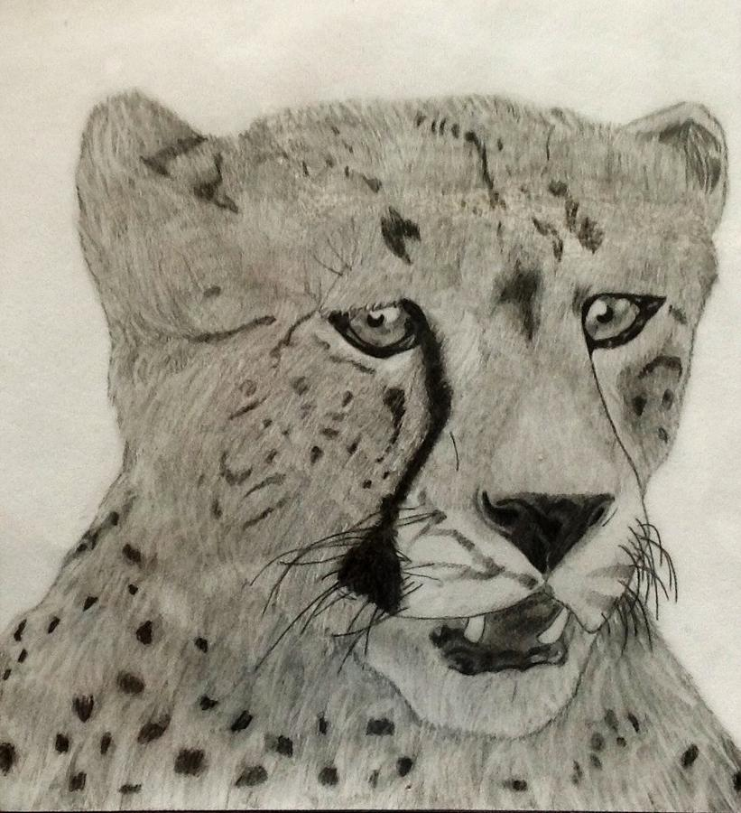 Cheetah II Drawing  - Cheetah II Fine Art Print