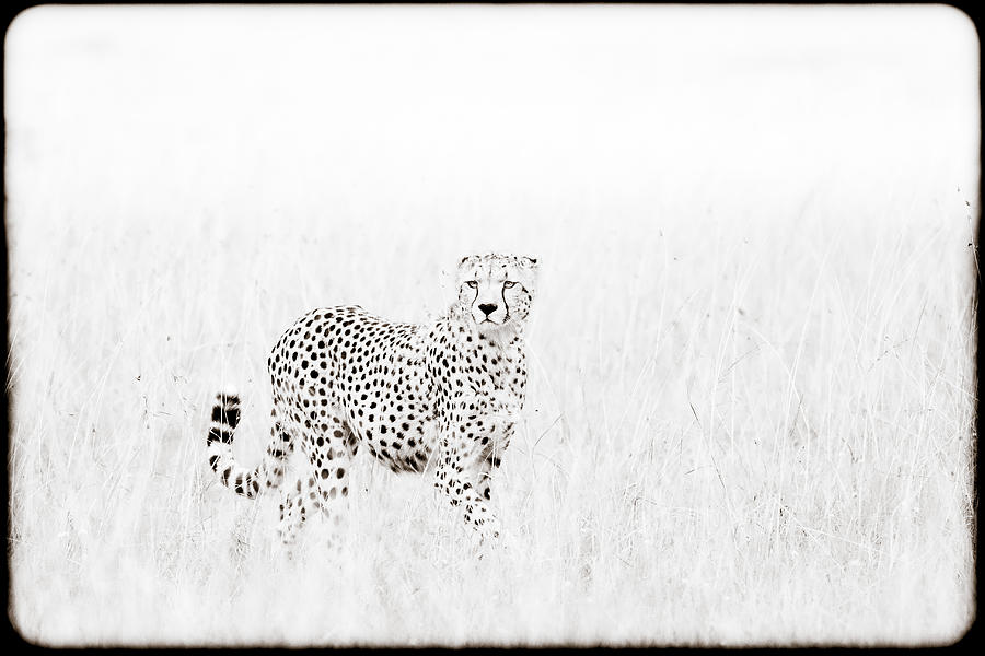 Cheetah In The Grass Photograph