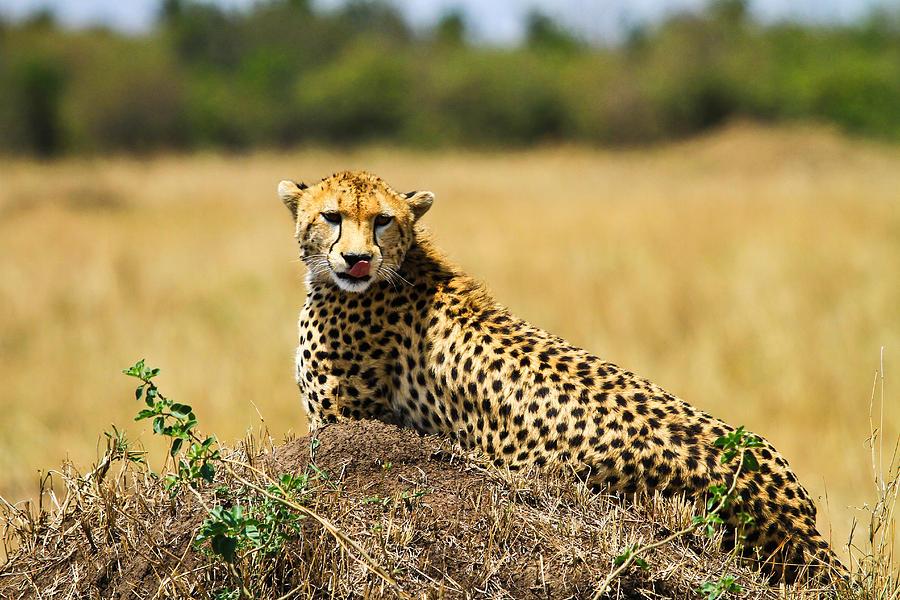 Cheetah Pyrography