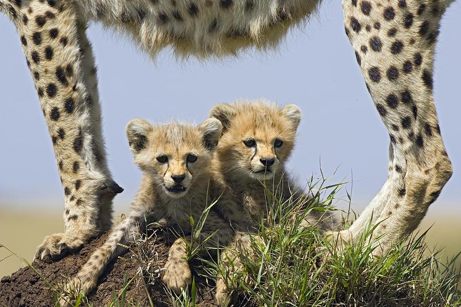 Cheetah Mother And Cubs Maasai Mara is a photograph by Suzi Eszterhas ...