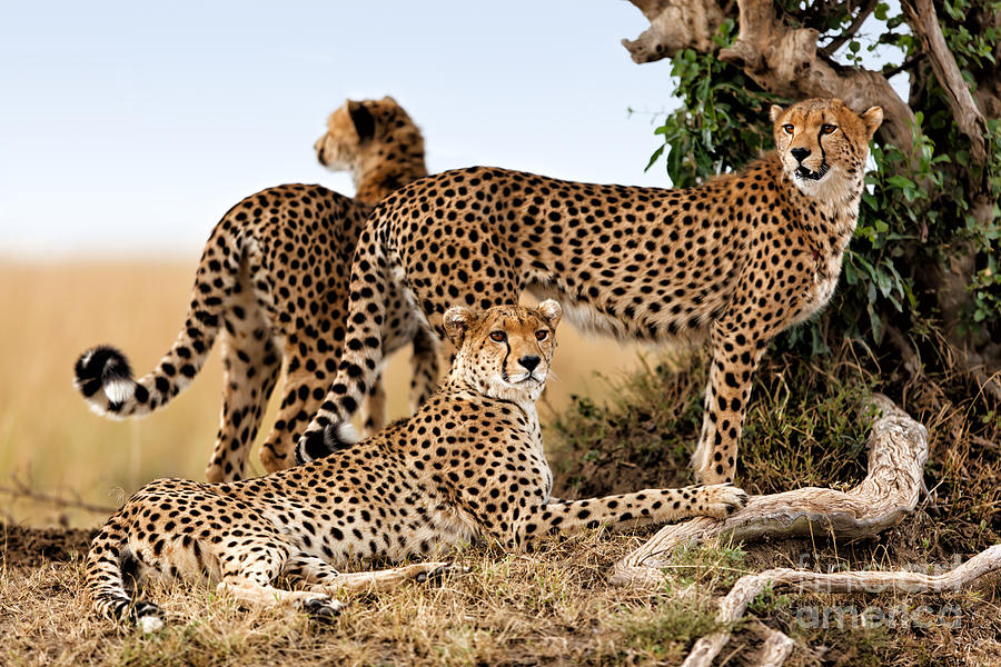 Cheetah Mother And Two Older Cubs In Masai Mara Photograph