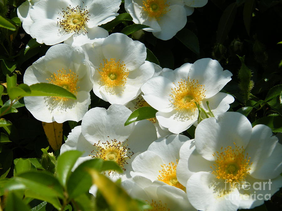 Cherokee Rose 2011 Photograph By Cheryl Hardt Art