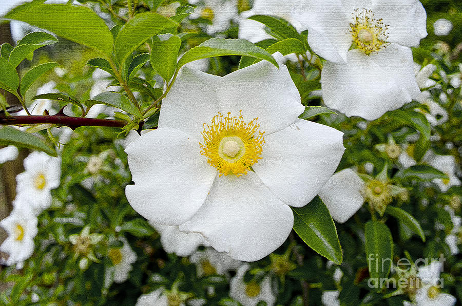 Cherokee Rose Photograph By Debra Johnson