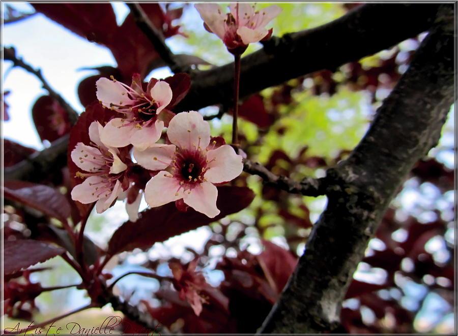 Cherry Blosoms Photograph