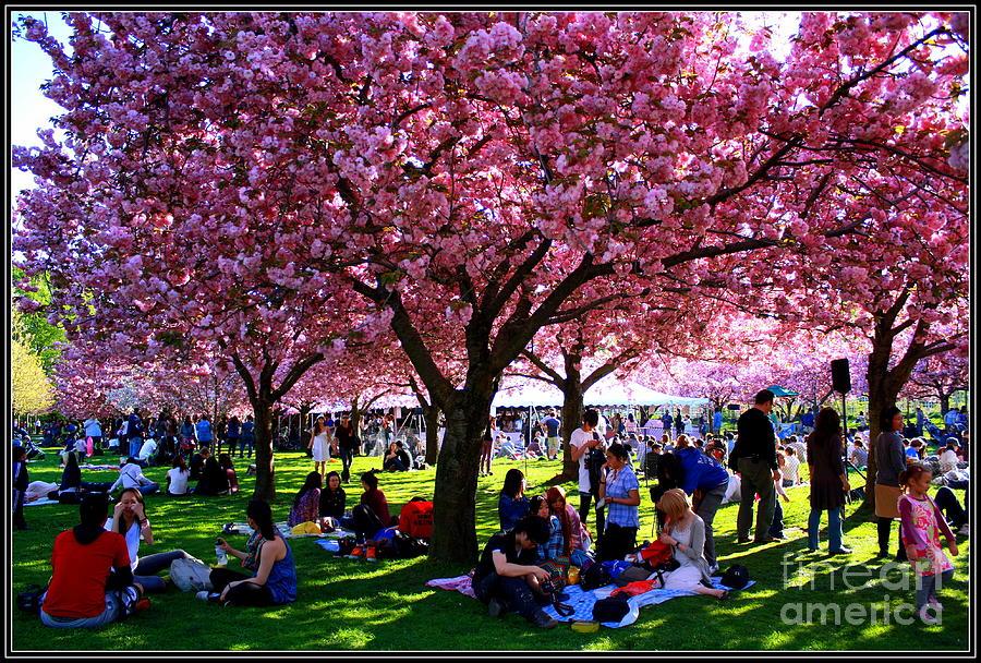 Cherry Blossom Festival Photograph