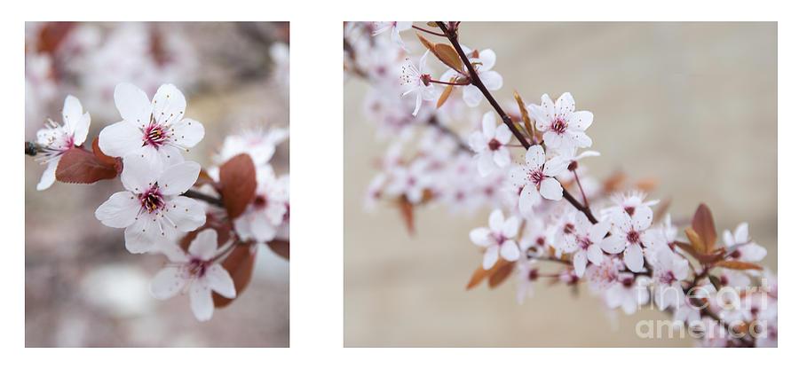 cherry blossom II Photograph