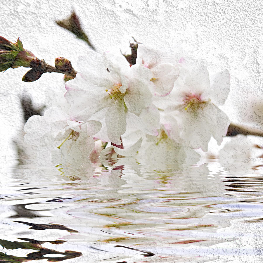 Cherry Blossom In Water Photograph